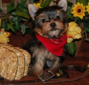 lovely teacup yorkshire terrier puppies for sale.