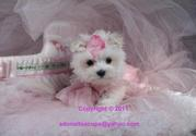 WHITE SUCCULENT MALE AND FEMALE TEAUCP MALTESE PUPPIES NOW AVAILABLE
