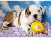 Gorgeous AKC English Bulldog Pups